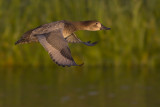Tafeleend / Common Pochard