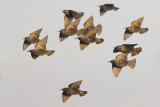 Spreeuwen / Common Starlings