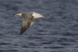 Pontische Meeuw, 2kj / Caspian Gull 2cy