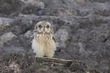 Velduil / Short-eared Owl