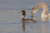 Fuut met Knobbelzwaan / Great Crested Grebe with Mute Swan