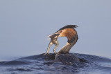 Fuut met kikker / Great Crested Grebe with frog