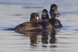 Kuifeenden / Tufted Ducks