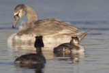 Futen met Knobbelzwaan / Great Crested Grebes with Mute Swan