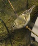 Bladkoning / Yellow-browed Warbler