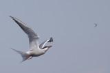 Visdief vangt mug / Common Tern catches mosquito