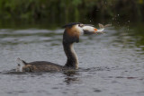 Fuut met vis / Great Crested Grebe with fish