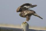 Buizerd / Common Buzzard