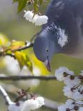 Houtduif / Wood Pigeon