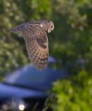Ransuil / Long-eared Owl