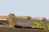 Steenuil / Little Owl