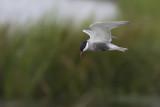Witwangstern / Whiskered Tern