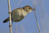 Kleine Karekiet / European Reed Warbler