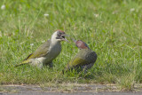Groene Specht, oudervogel voert jong / Green Woodpecker, adult feeding young