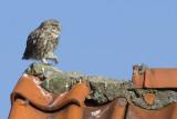 Steenuil, juveniel / Little Owl, juvenile