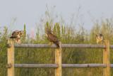 Drie juveniele Buizerds / three juvenile Common Buzzards