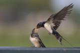 Boerenzwaluw voert jong / Barn Swallow feeding young