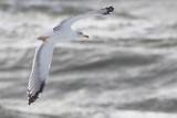 4kj Geelpootmeeuw / 4cy Yellow-legged Gull