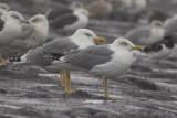 Twee adulte Geelpootmeeuwen / two adult Yellow-legged Gulls