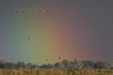 Grauwe Ganzen en regenboog / Greylag Geese and rainbow