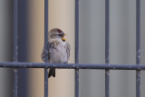 Grote Barmsijs / Mealy Redpoll