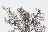 Kramsvogels / Fieldfares
