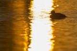 Kuifeend in zonsondergang / Tufted Duck in sunset light