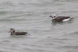 IJseenden / Long-tailed Ducks