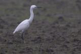 Kleine Zilverreiger / Little Egret