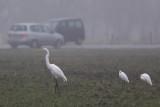 Grote Zilverreiger en Kleine Zilverreigers / Great Egret and Little Egrets