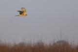 Blauwe Kiekendief / Hen Harrier