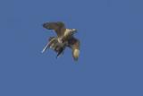 Slechtvalk met Kokmeeuw als prooi / Peregrine carrying Black-headed Gull as prey