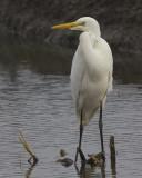 Grote Zilverreiger / Great Egret
