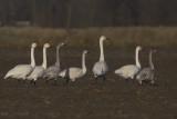 Kleine Zwanen / Bewick's Swans