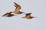 Wulpen / Eurasian Curlews
