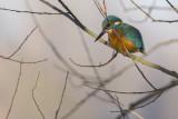 IJsvogel / European Kingfisher