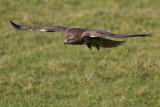 Buizerd naar prooi duikend / Common Buzzard diving to catch prey