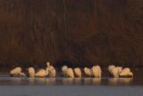 Great Egrets gathering before going to their night-roost / Grote Zilverreigers verzamelend vóór vertrek naar slaapplaats /
