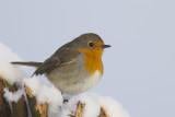 Roodborst / European Robin