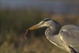 Grey Heron with mouse / Blauwe Reiger met muis
