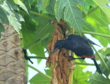 Red-winged Starling.jpg