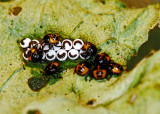 Harlequin Bug Hatchlings