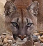 Puma or Mountain Lion
