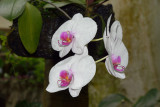 Moth Orchid (1)