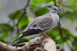 Crested Pigeon (1)