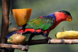 Black-capped Lory (1)