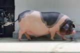 Da Hua Bai Pig (2)