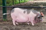 Da Hua Bai Pig (1)