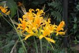 Lycoris Aurea