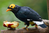 Yellow-Faced Myna (2)